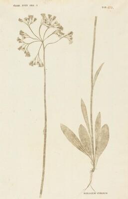Hieracium Cymosum