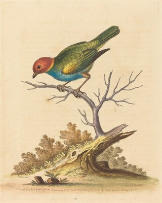 The Red-Headed Finch from Surinam