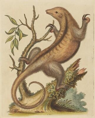Pygmy Anteater