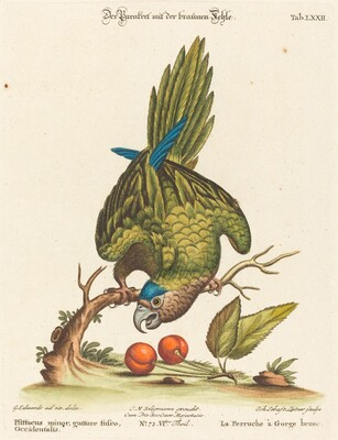 Psittacus minor gutture fusco, occidentalis