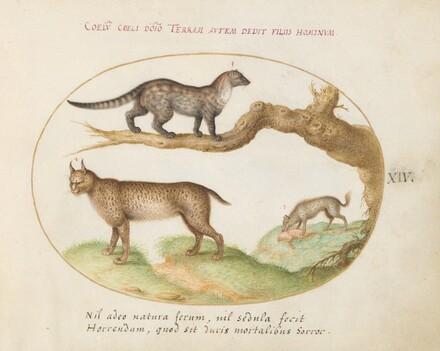 Animalia Qvadrvpedia et Reptilia (Terra): Plate XIV