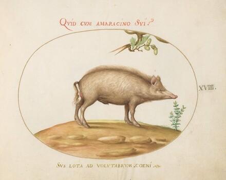 Animalia Qvadrvpedia et Reptilia (Terra): Plate XVIII