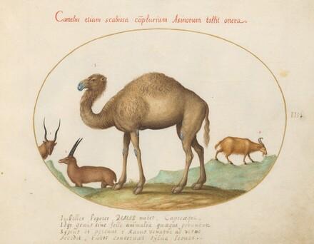 Animalia Qvadrvpedia et Reptilia (Terra): Plate III