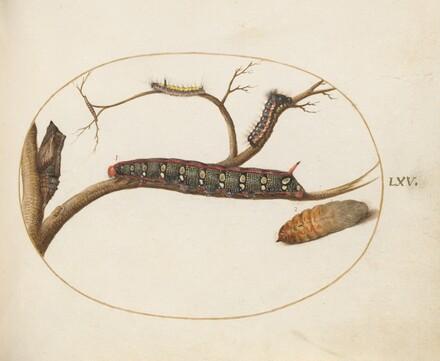 Animalia Qvadrvpedia et Reptilia (Terra): Plate LXV