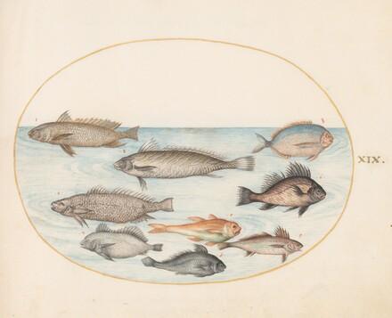 Animalia Aqvatilia et Cochiliata (Aqva): Plate XIX