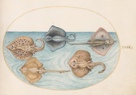 Animalia Aqvatilia et Cochiliata (Aqva): Plate XXIX