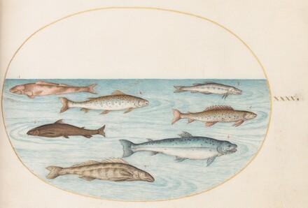 Animalia Aqvatilia et Cochiliata (Aqva): Plate XL