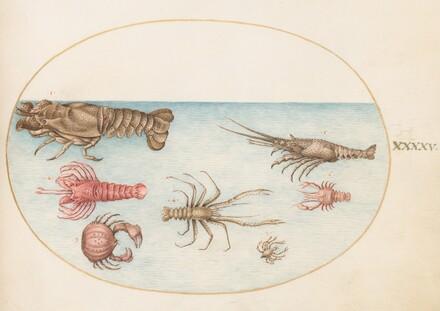 Animalia Aqvatilia et Cochiliata (Aqva): Plate XLV