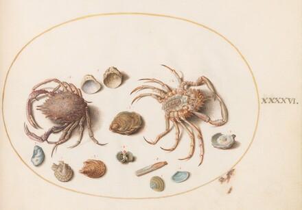 Animalia Aqvatilia et Cochiliata (Aqva): Plate XLVI