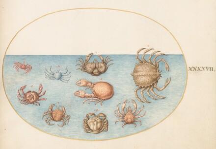 Animalia Aqvatilia et Cochiliata (Aqva): Plate XLVII