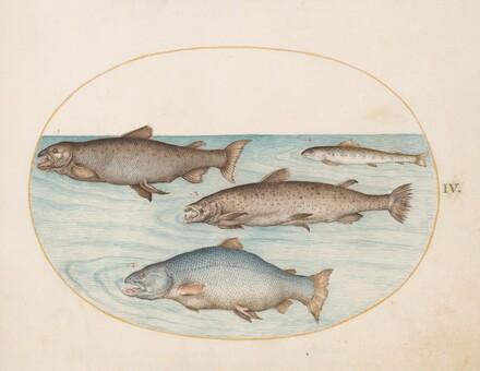 Animalia Aqvatilia et Cochiliata (Aqva): Plate IV