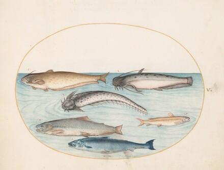 Animalia Aqvatilia et Cochiliata (Aqva): Plate V