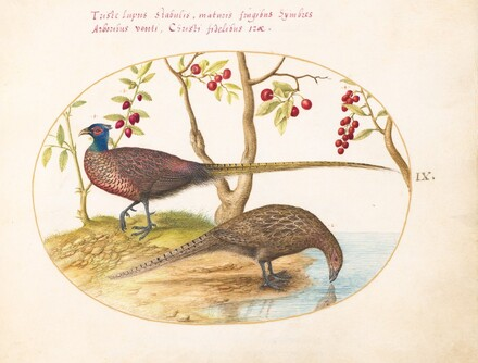 Animalia Volatilia et Amphibia (Aier): Plate IX
