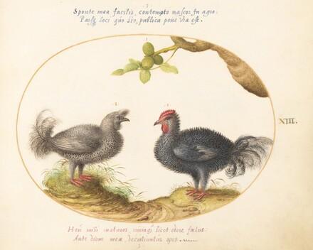 Animalia Volatilia et Amphibia (Aier): Plate XIII