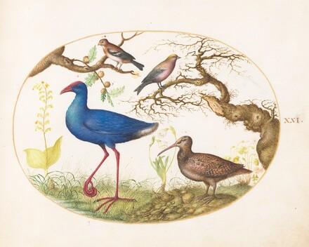 Animalia Volatilia et Amphibia (Aier): Plate XXI