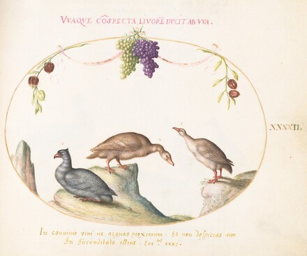 Animalia Volatilia et Amphibia (Aier): Plate XLII
