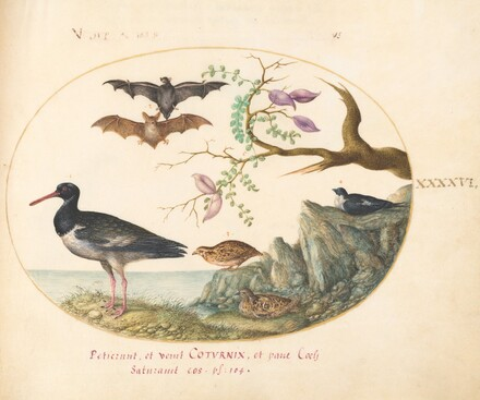 Animalia Volatilia et Amphibia (Aier): Plate XLVI
