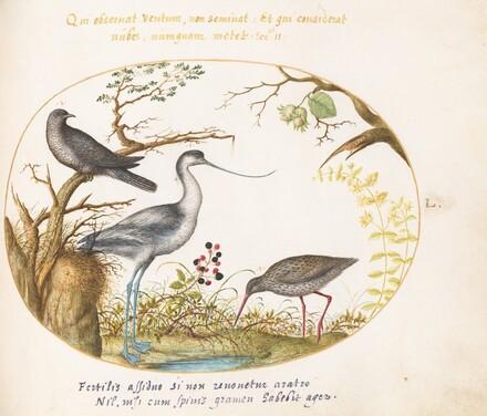 Animalia Volatilia et Amphibia (Aier): Plate L