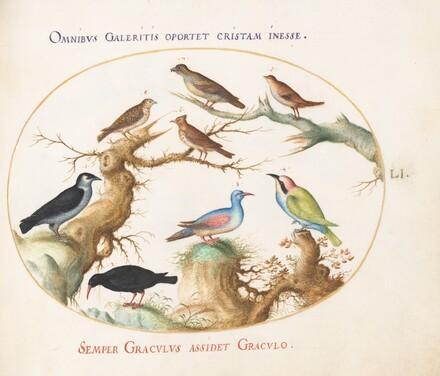 Animalia Volatilia et Amphibia (Aier): Plate LI