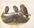 Animalia Volatilia et Amphibia (Aier): Plate LV