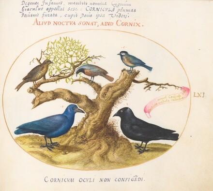 Animalia Volatilia et Amphibia (Aier): Plate LXI