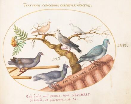 Animalia Volatilia et Amphibia (Aier): Plate LXVI