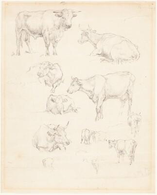 Studies of Cattle