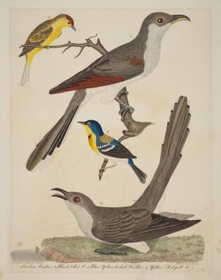 Carolina Cuckoo, Black-billed Cuckoo, Blue Yellow-backed Warbler, and Yellow Red-poll Warbler