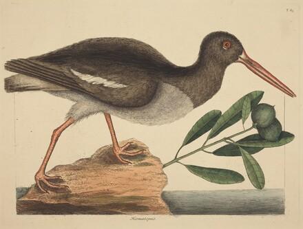 The Oyster-catcher (Hoematopus ostralegus)