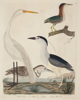 Green Heron, Night Heron, Young Heron, and Great White Heron