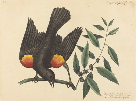 The Red Winged Starling (Oriolus phoeniceus)