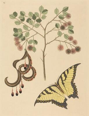 Cat's Claw (Mimosa circinalis)