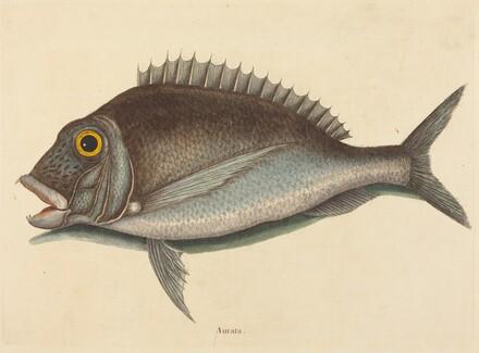 The Porgy (Sparus chrysops)
