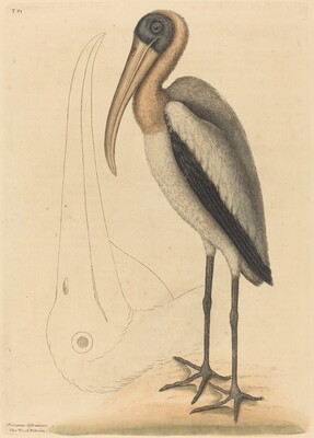 The Wood Pelican (Tantalus Loculator)