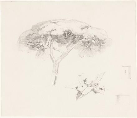 Umbrella Pine and Other Studies