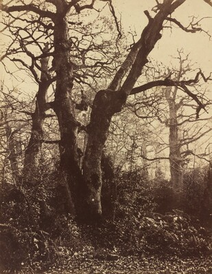 Tree Study, Fontainebleau