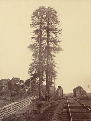 Twin Redwoods, Palo Alto
