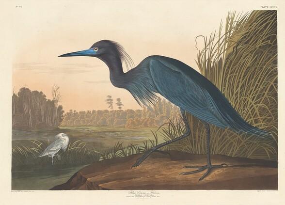 Blue Crane or Heron