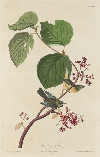Pine Swamp Warbler