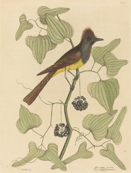 The Crested Flycatcher (Muscicapa cristata)