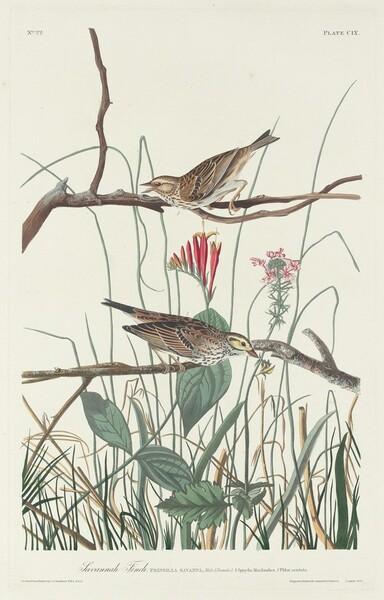 Savannah Finch
