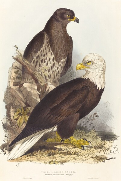 White Headed Eagle (Haliaetus leucocephalus)