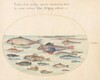 Plate 27: Blennies, Scorpion Fish, and Other Fish