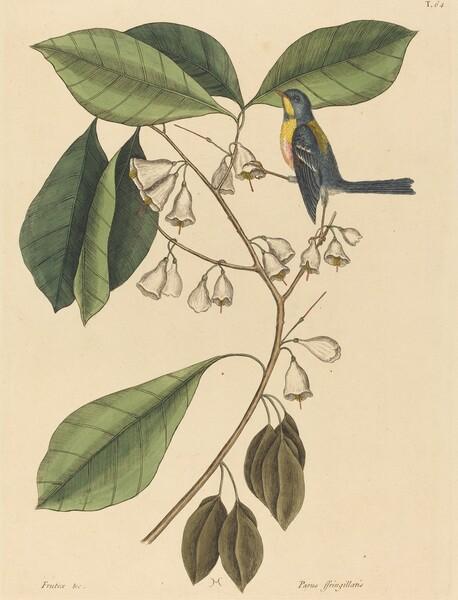 The Finch Creeper (Parus americanus)