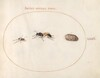 Plate 71: Two Wasps and a Pill Bug
