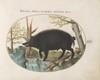 Plate 16: Wild Boar