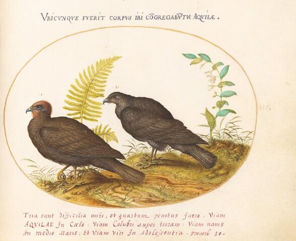 Plate 3: Two Hawks