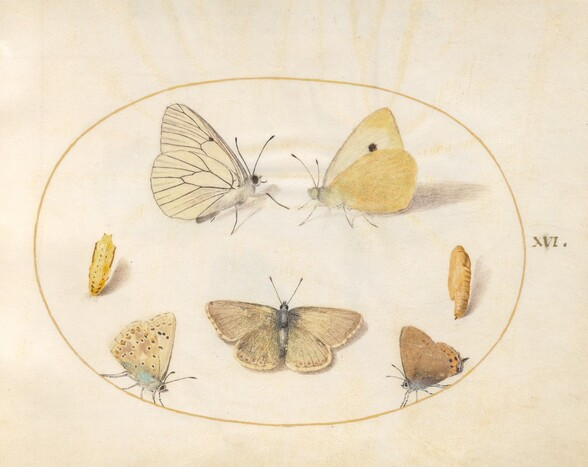 Plate 16: Black-Veined White, Clouded Yellow, Black Hairstreak(?) and Geranium Argus(?) Butterflies with Two Chrysalides