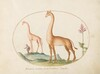 Plate 2: Two Giraffes with an Attendant