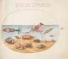 Plate 52: An Argonaut, Squid, Hermit Crabs, Shells, and a Crab